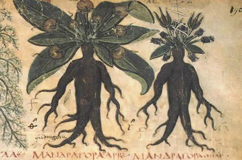 http://cabanedetellus.free.fr/Actus/Mandragores_magiques.jpg