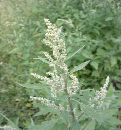 Chenopodium_album