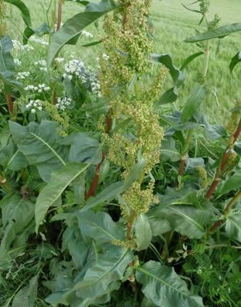 [plante] Rumex et oseille Rumex_obtusifolius