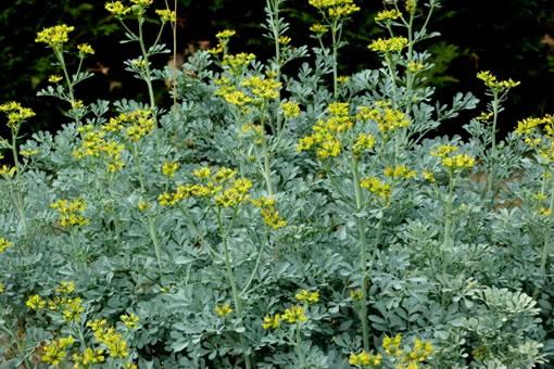 Les Plantes Photosensibilisantes. Ruta_graveolens